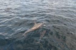 Maledivy - delfín