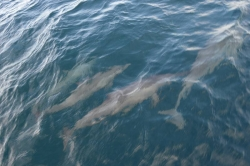 Maledivy - delfíni
