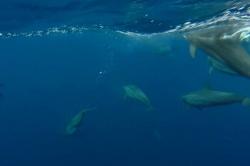 Maledivy - delfíni pod hladinou