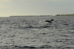 Maledivy - delfíni ve vzduchu