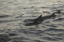Maledivy - menší skupina delfínů