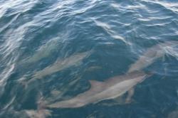Maledivy - skupinka delfínů