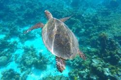želva v moři