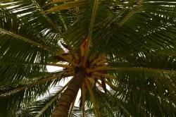 koruna kokosové palmy na Maledivách