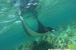Dovolená na Maledivách - manta u hladiny