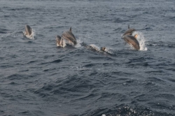 skok delfínů