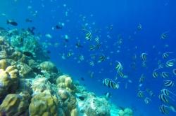 hejna korálových rybek