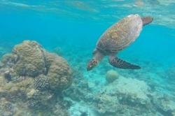 mořská želva s korály