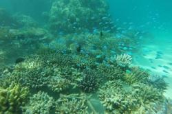 Modré korálové ryby