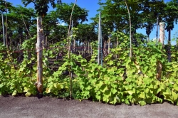 pěstování ovoce na Maledivách
