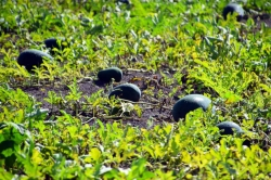 pěstování tropického ovoce