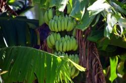 pěstování banánů na Maledivách