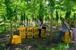 sklizeň papaya Maledivy