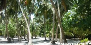 Kokosové plamy na Maledivách