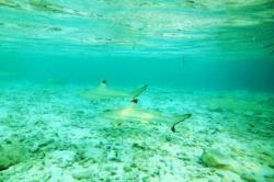 Šnorchlování se žraloky