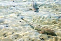 Žraloci v mělčině