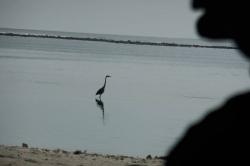 volavka na Maledivách