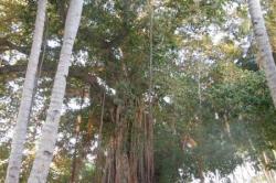 stromy na ostrově Huraa