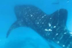 žralok obrovský pod hladinou