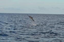 Maledivy - delfíní skok