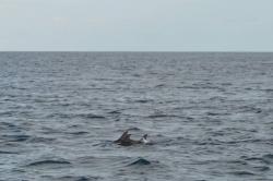 Maledivy - dva delfíni