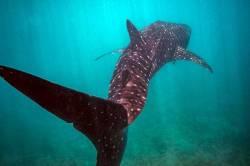 žralok obrovksý