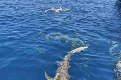 plavani-se-zraloky-Maledivy