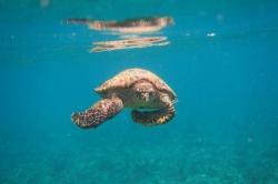 Maledivy želva
