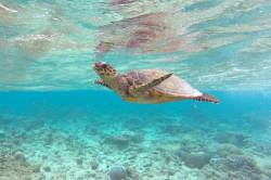 nadechující se mořská želva na Maledivách