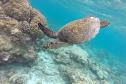 mořská želva u korálového útesu na Maledivách