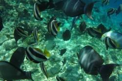 žlutočerné korálové rybky