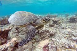 mořská želva zblízka