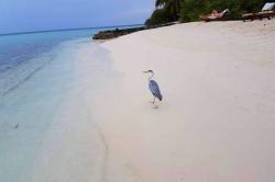 Maledivy - volavka na pláži