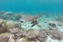 mořská želva v Indickém oceánu