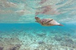 želva Maledivy