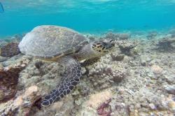 Maledivy, mořská želva