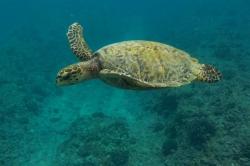 Maledivy mořská želva