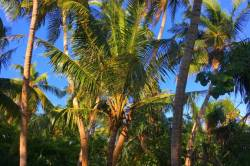 cesta lemovaná palmami