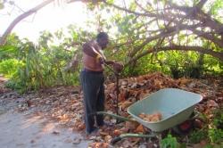 Otevírání kokosu tradičním způsobem
