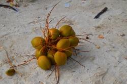 kokosy po odříznutí