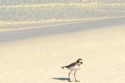 fauna Maledivy