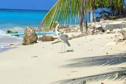 volavka na pláži na Maledivách
