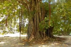 Velký strom na Maledivách