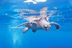 Maledivy, Huraa, šnorchlování se želvami