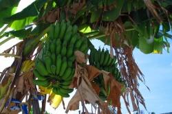 Maledivské banány