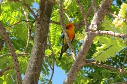 Maledivský papoušek