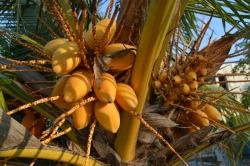 trs kokosů na palmě