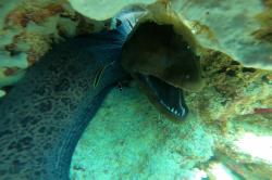 muréna v moři