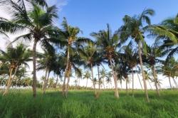 palmy na ostrově  Thoddoo