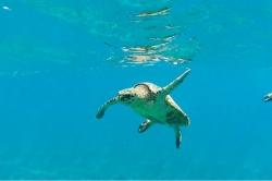 Šnorchlování se želvou